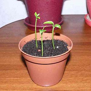 Выращивание бугенвиллии из семян в домашних условиях