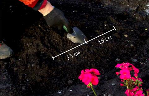 Тюльпан посадка и уход в открытом грунте фото когда сажать 94